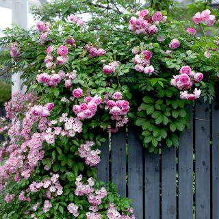 バラのお庭